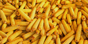 corn-supplier